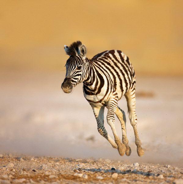 Zebra_Colt